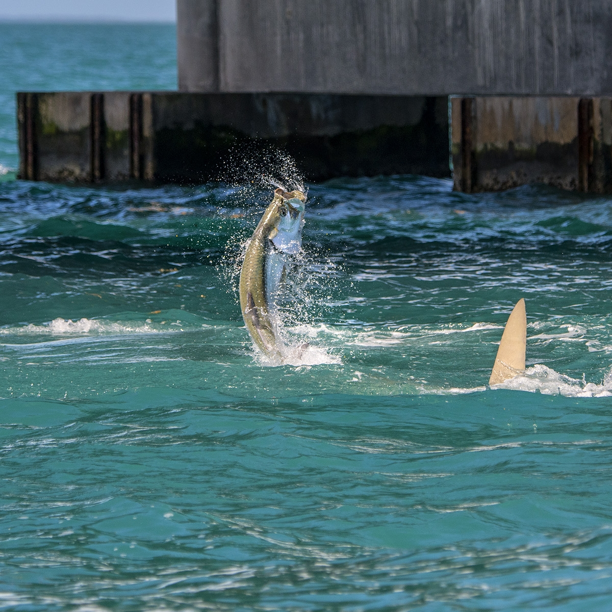 best-time-of-the-year-for-a-grand-slam-bonefish-tarpon-permit-tarpon-jumping-out-of-the-water