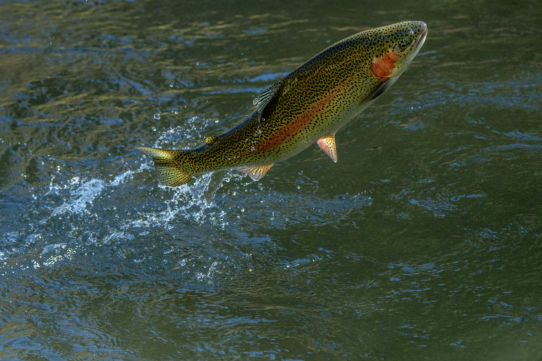 Jumping trout.