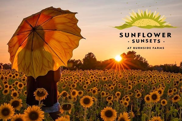 Thursday August 8th. Sunflower Sunsets 6-8 this evening and Saturday. Regular hours 10-6. We're a little more than halfway through the 2019 Summer of Sunflowers and if you're only planning one visit this season, we suggest waiting a week.  The flowers right now are fatigued from the lack of rain and heat (every recent rainstorm has dodged us). We are irrigating at capacity and are working on adding more irrigation as we speak.  We have an outstanding looking crop coming on for next week and sunflower giants will be looking great next week as well.  Don't get us wrong, it's beautiful in the fields right now but if you're only visiting once, wait a week.  For more information about our Summer of Sunflowers and Sunflower Sunsets please visit www.burnsidefarms.com  We'll see you at sunset!  Sunset photo credit @dslryan  Sunflower Sunset logo @swelltv  #burnsidefarms #summerofsunflowers #sunflowersunsets #pickyourown #sunflowers #loveva #vaoutdoors #nokesvilleva #visitPWC