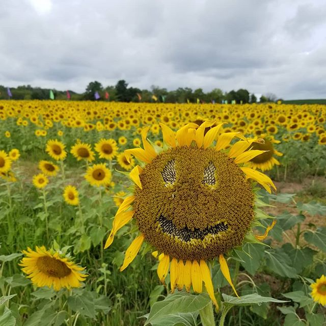 """Wednesday, August 28th. As summer winds down, so does the 2019 Summer of Sunflowers. Sadly, all good things must come to an end.  Sunday, September 1st will be our last day for SUMMER sunflowers. We open and close the season with the fewest flowers in bloom. We MAY be open on Labor day but it will depend on how many sunflowers are still blooming this weekend.  The pictures in this post were taken this morning  It's a good time to let you know we will have a FALL crop of sunflowers this year! More than 15 acres of sunflower mazes, walks and """"cutting"""" sunflowers will successively begin to bloom starting a little after mid-September until our first killing frost (usually around mid-October). If you're only planning one visit this year, we suggest waiting for the fall sunflower crops. It'll be well worth the wait! We'll announce an opening date for Fall in a few weeks.  SUNFLOWER SUNSETS (our final two) will be this Thursday and Saturday 6-8pm (Thursday will be better than Saturday but Saturday should still be pretty). If you've visited us this summer, we can't thank you enough and we hope to see you again soon!  Admission to the Summer of Sunflowers during regular hours 10-6 is $8 per person (children under two are free ). Sunflower Sunsets 6-8 on Thursdays and Saturdays is $10 per person.  #burnsidefarms #summerofsunflowers #pickyourown #sunflowers #loveva #vaoutdoors #nokesvilleva #visitPWC"""