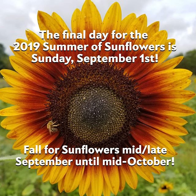 "Sunday, September 1st. Today is the final day of the 2019 Summer of Sunflowers!  We close the SUMMER season tonight at 6pm. We will be CLOSED tomorrow, Labor day.  We will re-open later this month with a FALL crop of sunflowers! Come Fall for Sunflowers with us until our first killing frost (around mid-October)! We'll have an opening date announcement soon.  We have some exciting things planned for fall. The pictures in this post were taken today. The second picture is our fall ""cutting"" sunflowers and the third is our 5 acre sunflower maze which is growing nicely!  We are planning on having a fall ""Sunset"" option a few days a week.  If you've visited us this summer, thank you so much for visiting! We really appreciate you being a friend of the farm!  The cooler crisper days of fall are just around the corner. We can't wait to see your smiling faces in the fall sunflowers!  #burnsidefarms #summerofsunflowers #pickyourown #sunflowers #fall #fallforsunflowers #loveva #vaoutdoors #nokesvilleva #visitPWC"
