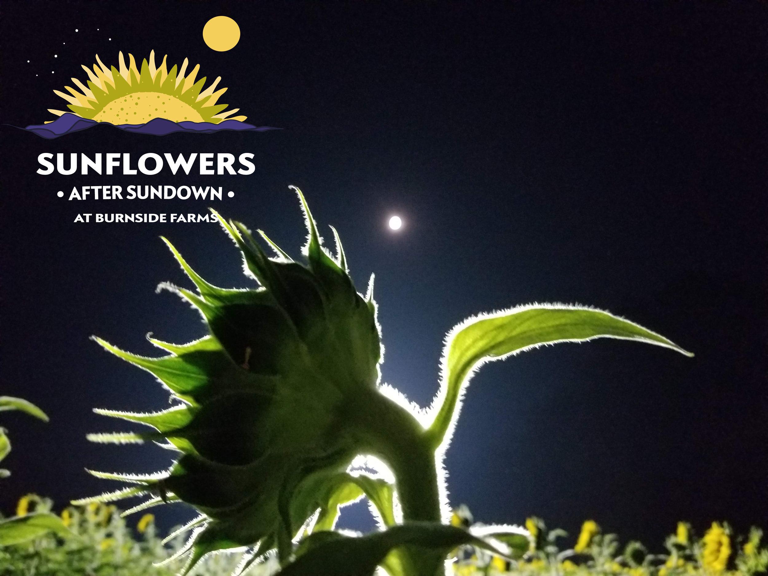 sunflowers_sundown.jpg