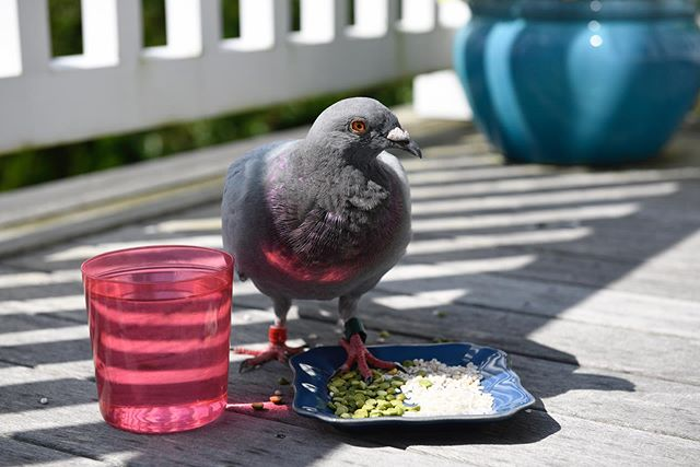 This gorgeous homing pigeon came to visit me today, well it's still here. He/she is banded and adorable. I don't need a new pet, but I'm falling in love with this guy. Calls and emails are into all the pigeon authorities I could find online. If anyone knows anything about homing pigeons, I'd love for it to find its way home. I'm sure someone is missing him. In the meantime, he is well fed and has plenty of water. I'm going to build it a bed/nest next. Advice welcome😍 #lostpigeon . . . . #homingpigeon #pet #bandedpigeon #adorable #bird #montauk #longisland #birding #nature #newpet #if #racingpigeon #lostbird #newyork #pigeon #lostpet #wild #lost #unexpectedvisitor