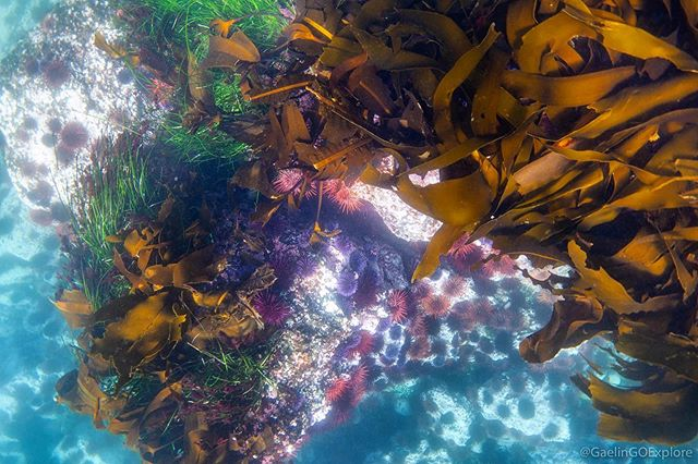 A little underwater beauty from my favorite corner of the planet...Langara Island in the Haida Gwaii...Beam me there right now, please!!! #goexplore . . . . . . #haidagwaii #underwater #kelp #urchins #ocean #pacific #langara #magical #magic #goodforthesoul #beauty #discoverocean #nature #uw #travel #adventure #kelpforest #nature #expedition #explore #britishcolumbia #beautifulbc