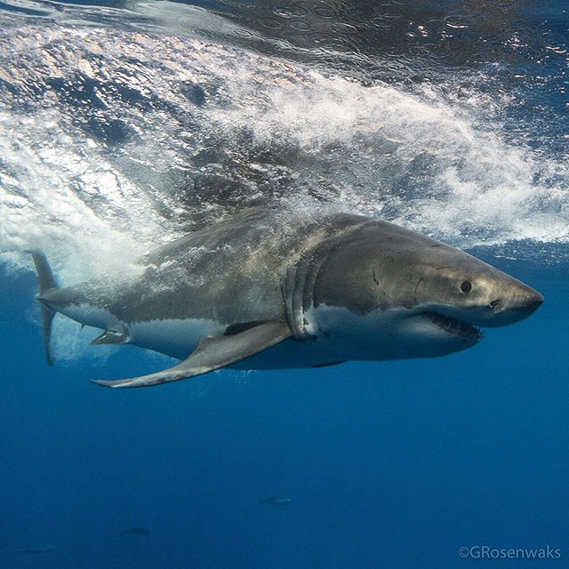 White Shark Wednesday! I've been thinking about large ocean predators today so why not share one of my favorite white shark images?! 🦈 . . . . . . #whiteshark #wildwednesday #greatwhiteshark #shark #whitesharkwednesday #wild #nature #ocean #pacific #underwater #predator #upclose #epic #sharks #mexico