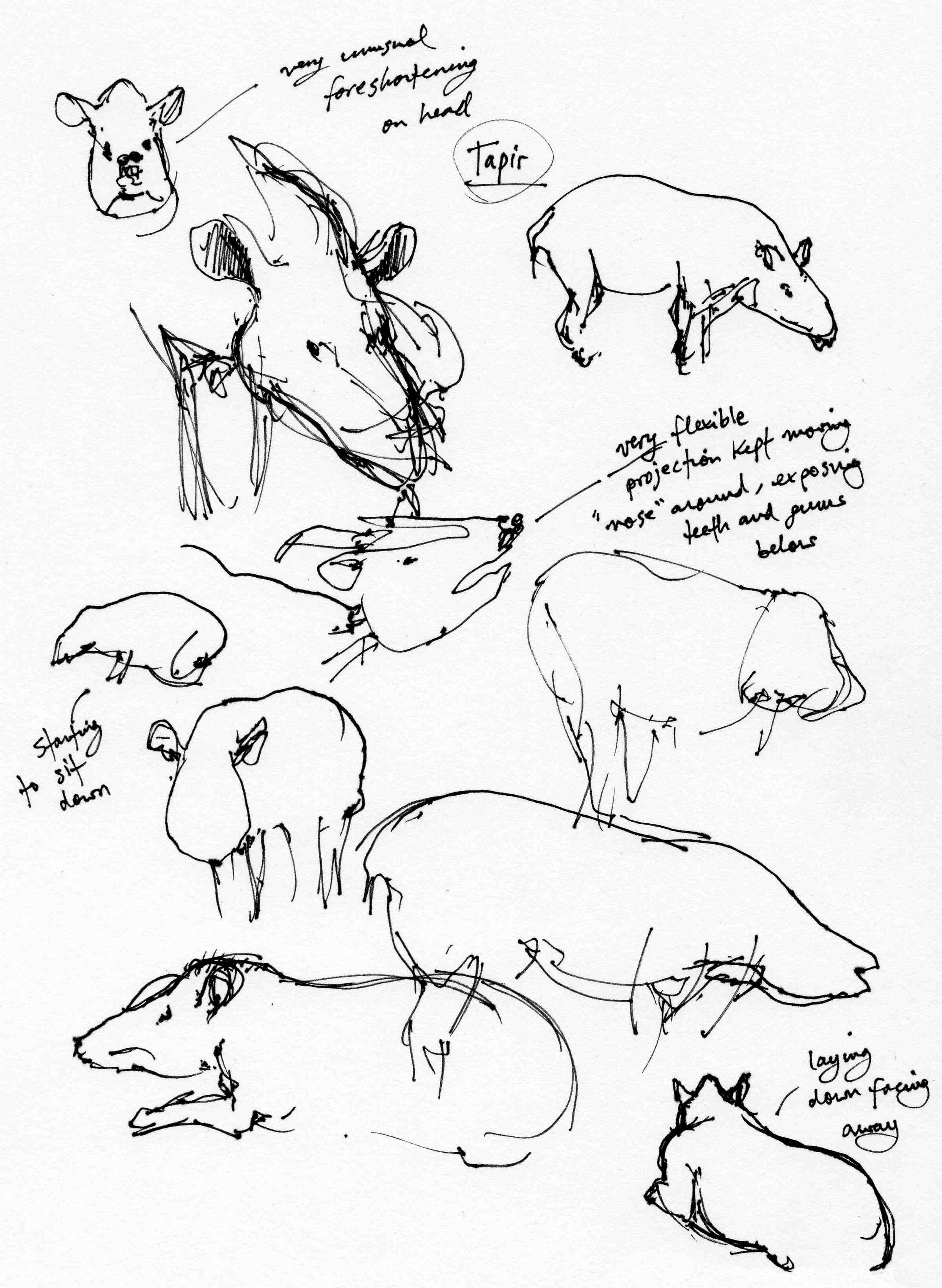 Tapir Studies