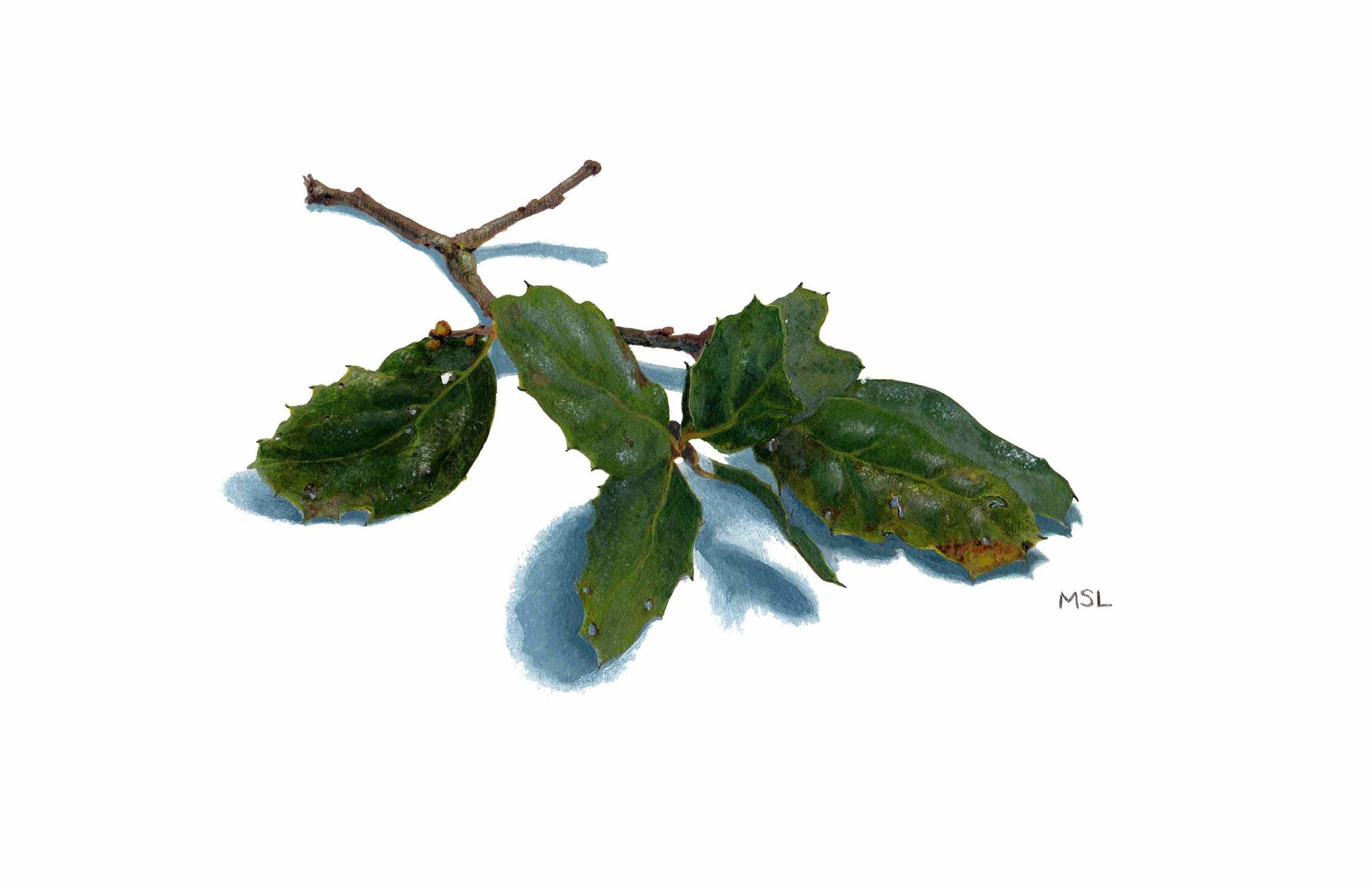 Coast Live Oak Twig