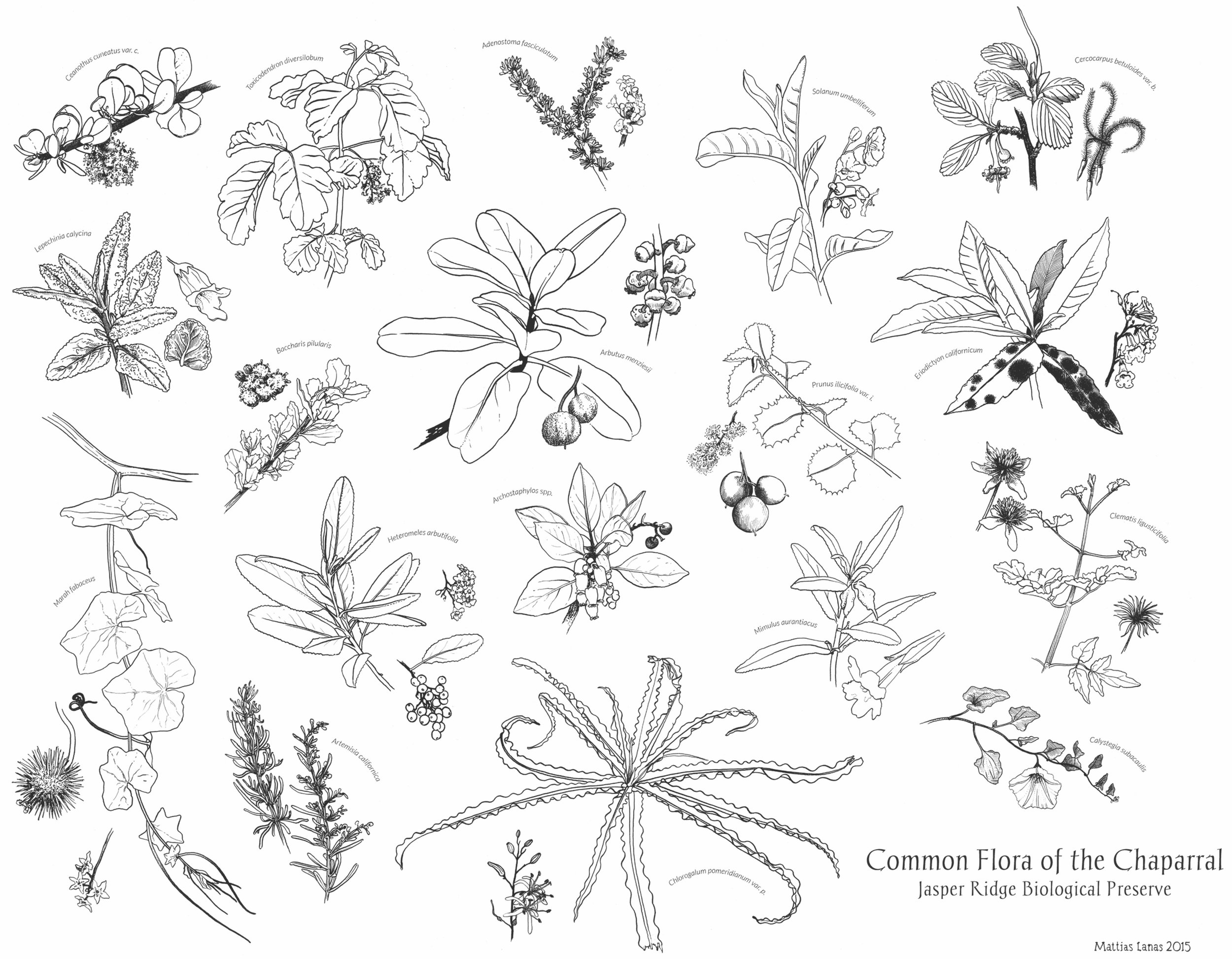 Common Flora of the California Chaparral