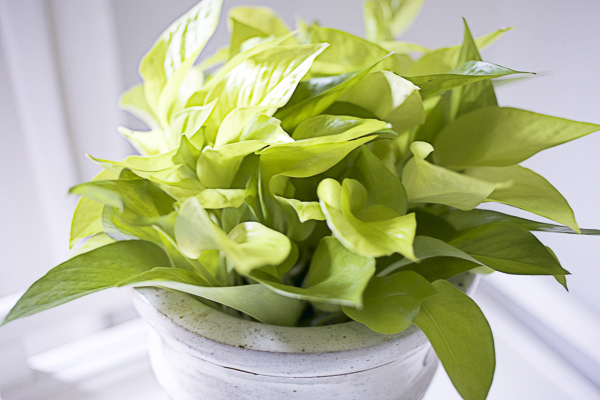 Philodendron - 5 Houseplants You Can't Kill