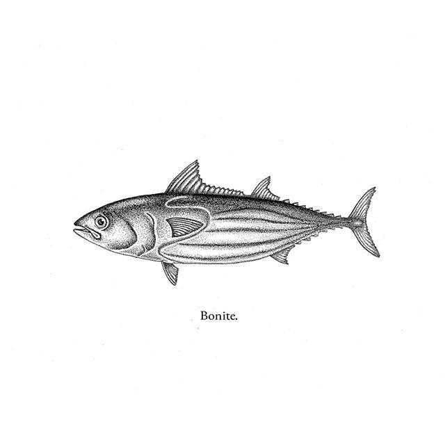 Fish From Here! .  Bonite  Dessin réalisé au micron 0,05 .  #catchandrelease #fishing #basque #bonite #peche #soitmabonite #illustration #ink #design #surpeche #surconsommation #basquecountry #dessin #adour #bayonne #thon #identity #ocean #drawing #fishfromhere