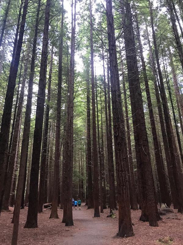 Redwoods walk.jpg
