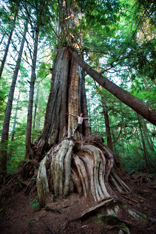 Awesome old growth tree: Tla-o-qui-aht territory, British Columbia