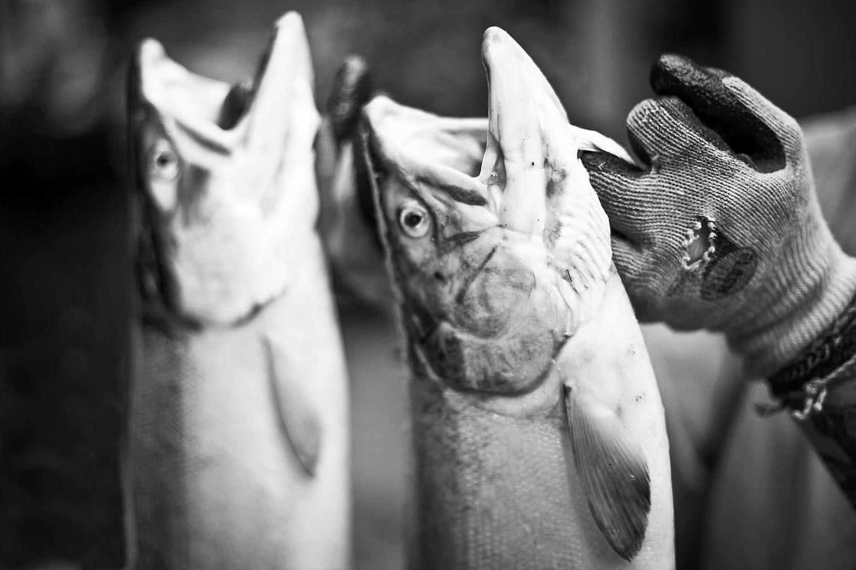 Freshly caught wild Coho: British Columbia