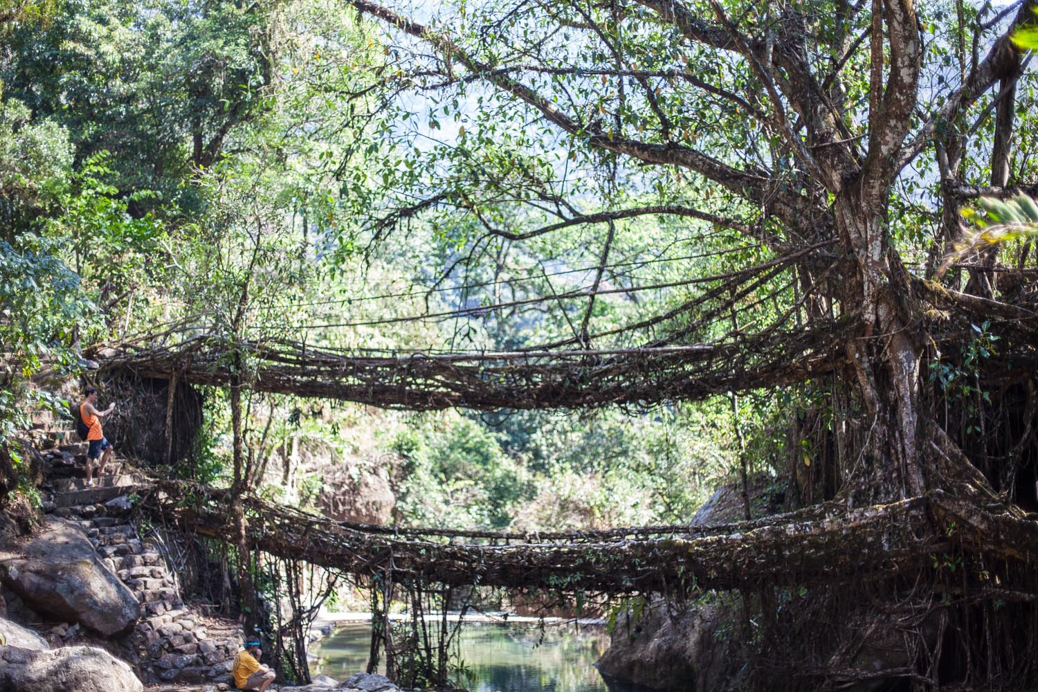 Living tree root bridges: Cherrapunji, Meghalaya