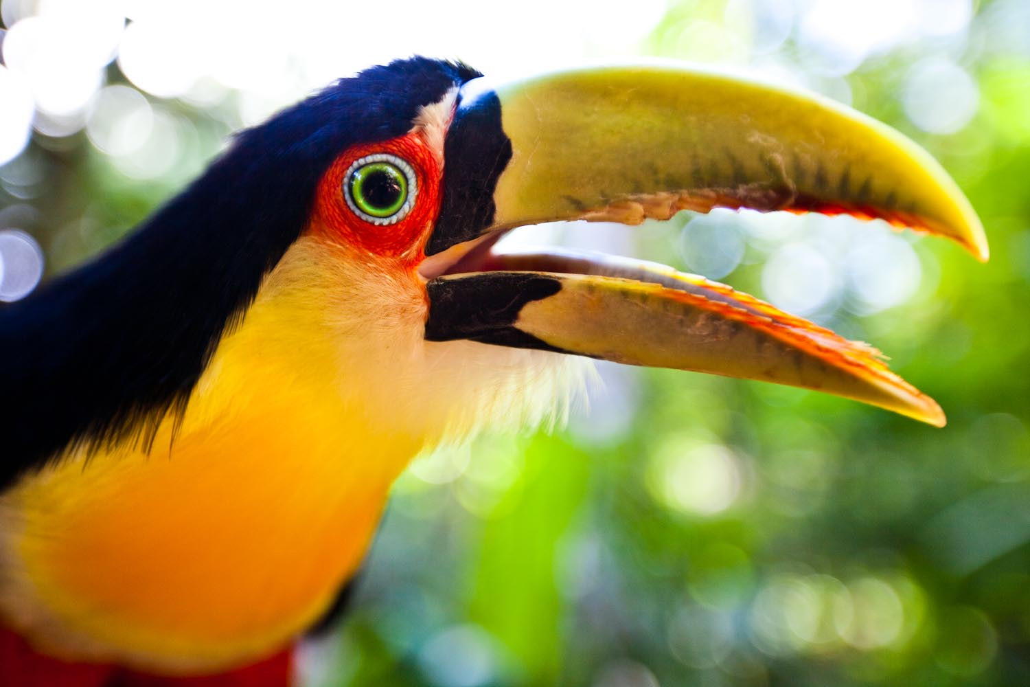 Red Breasted Toucan: Foz do Iguacu, Brazil