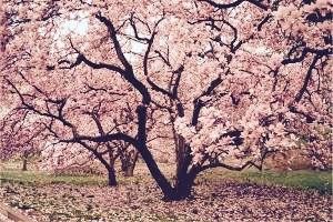 pink lily magnolia tree.jpg