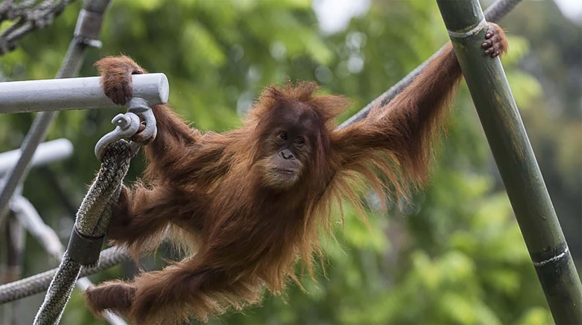 Orangutan in motion.jpg