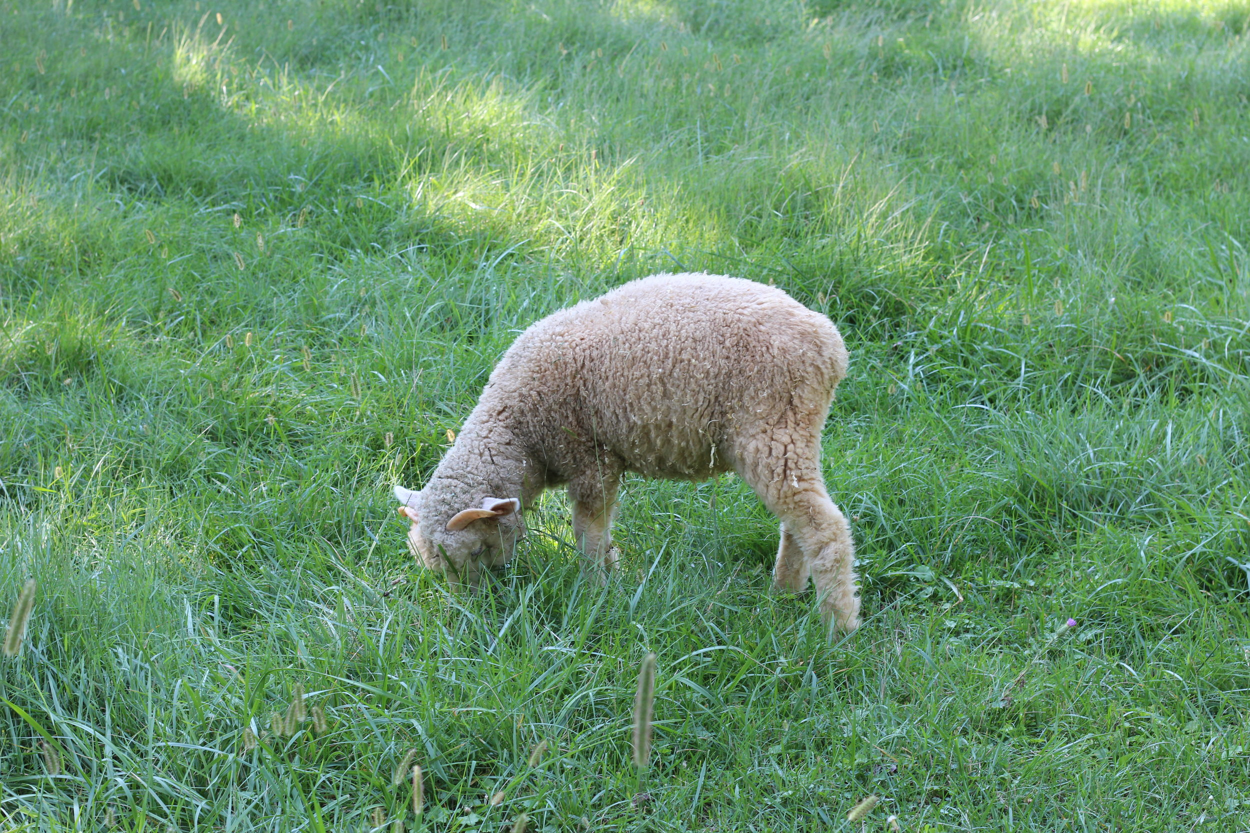 A Little Lamb on Conner Prairie