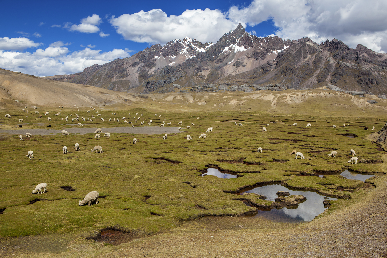 Llama Paysage.jpg