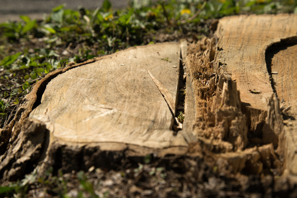 Ash tree cut down due to the EAB