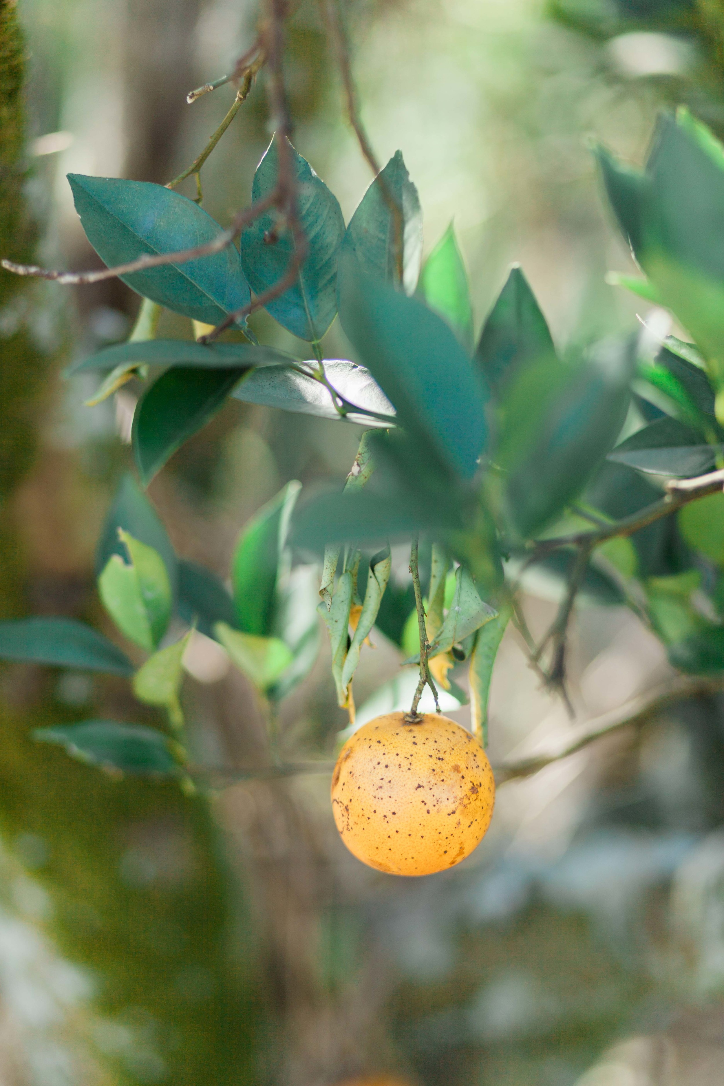 Orange Grove Engagement Session in Orlando Florida | Michelle Mock Photography