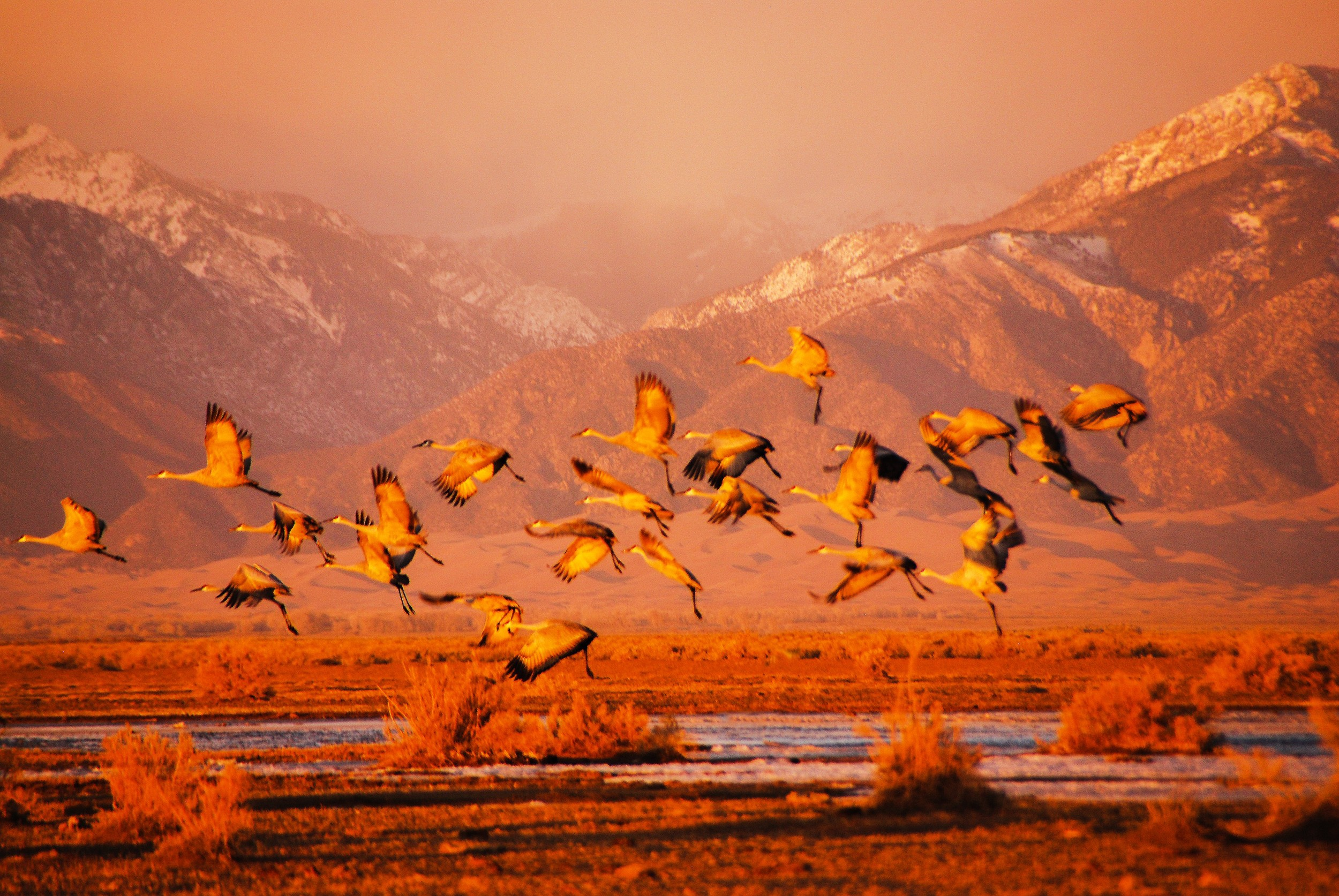 Sandhill Cranes Taking Off From Wetlands Near The Great Dunes
