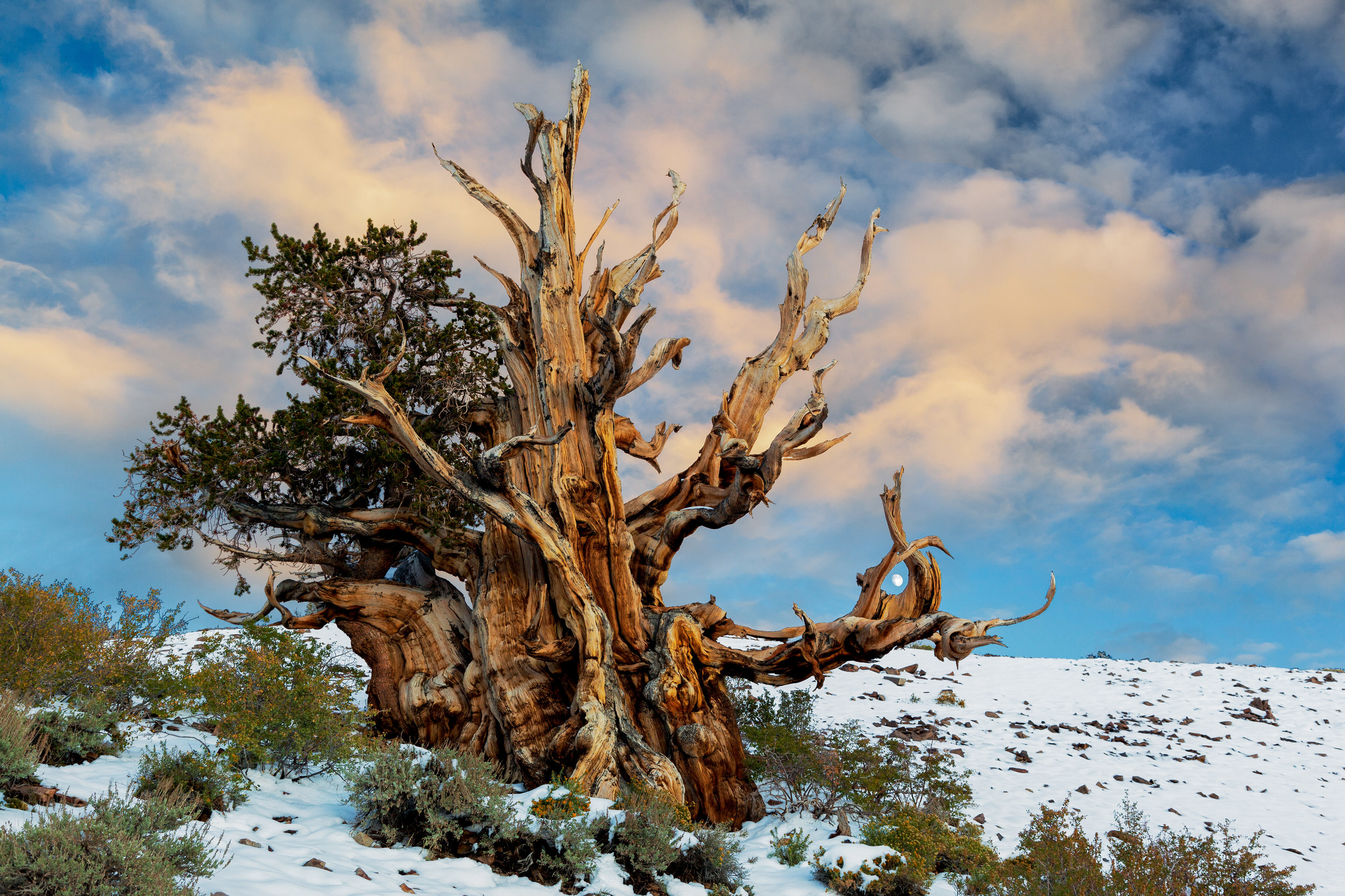 Bristlecone Pine Embraces The Moon – (PHOTO:tactilephoto/SHUTTERSTOCK)