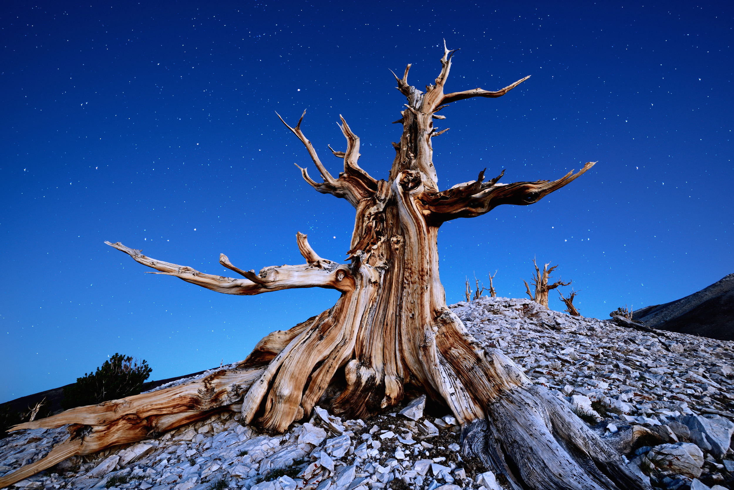 A Bristlecone Pine Under Starry Skies –(PHOTO:Tomas Tichy/SHUTTERSTOCK)