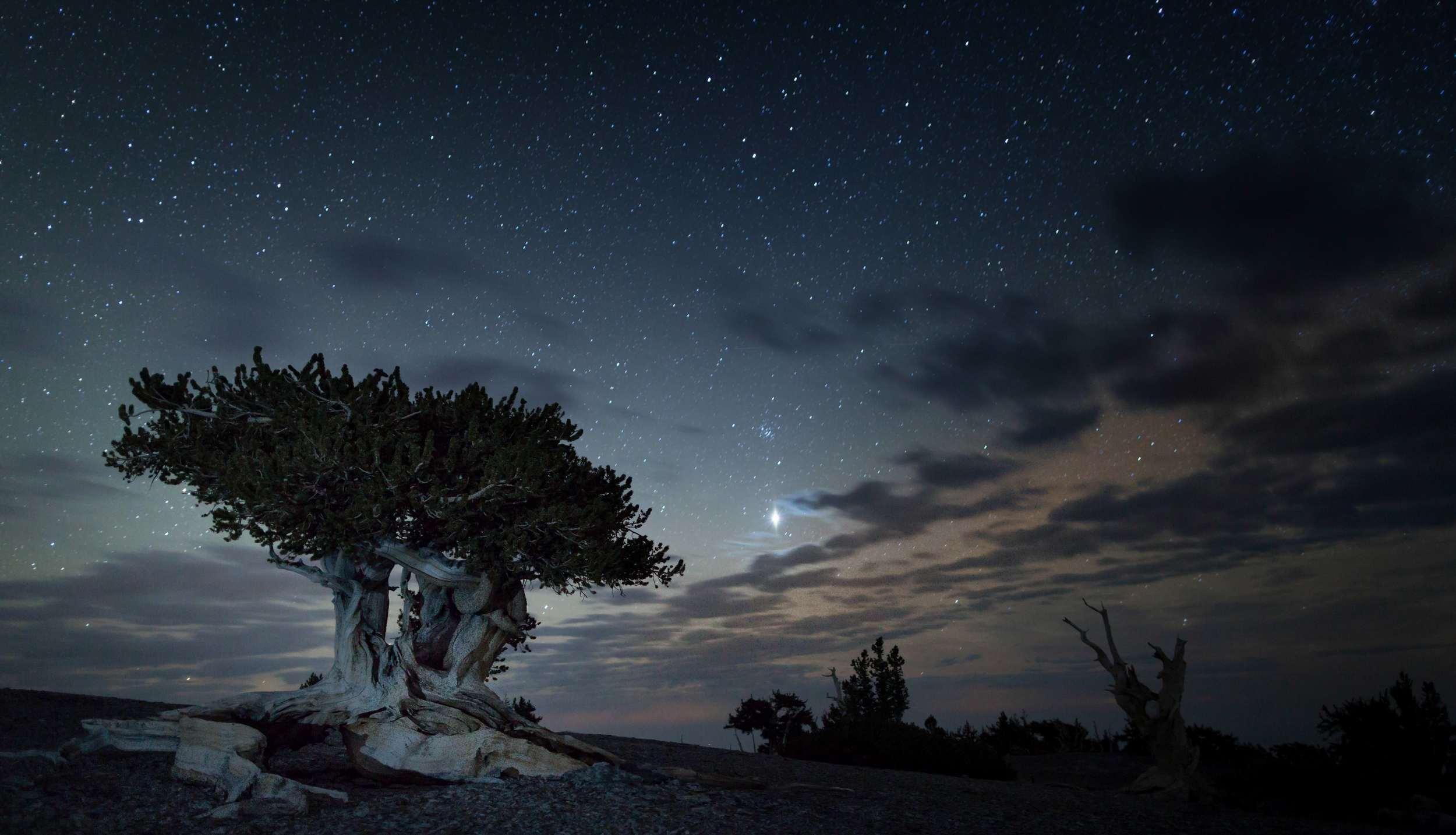 A Bristlecone Pine On Mt. Washington –(NPS Photo)
