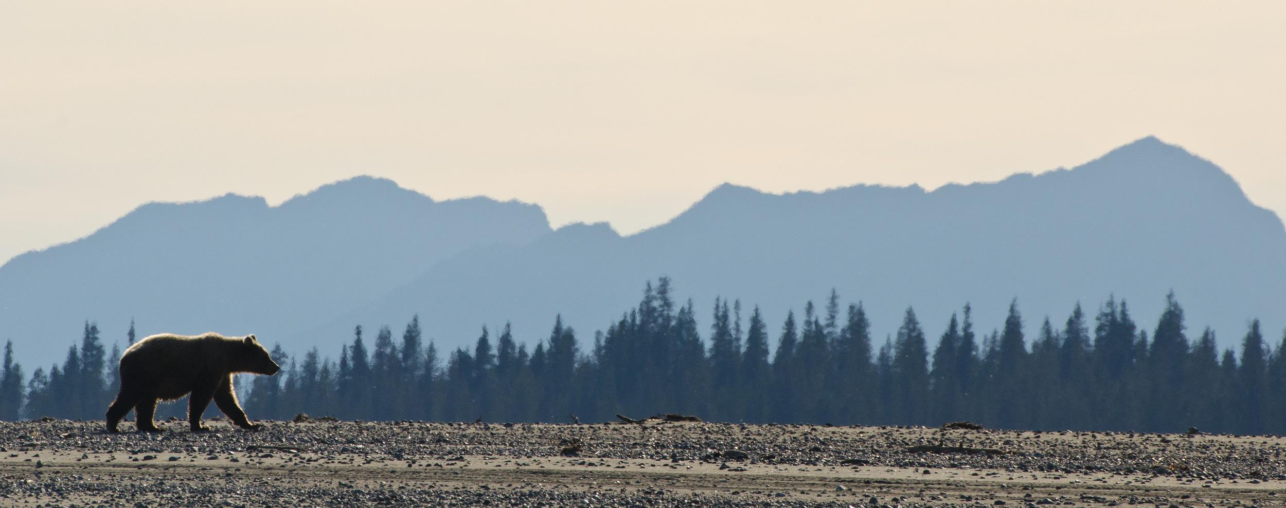 Coastal Brown Bear - Lake Clark National Park –(PHOTO: DAVIDRASMUS/SHUTTERSTOCK)