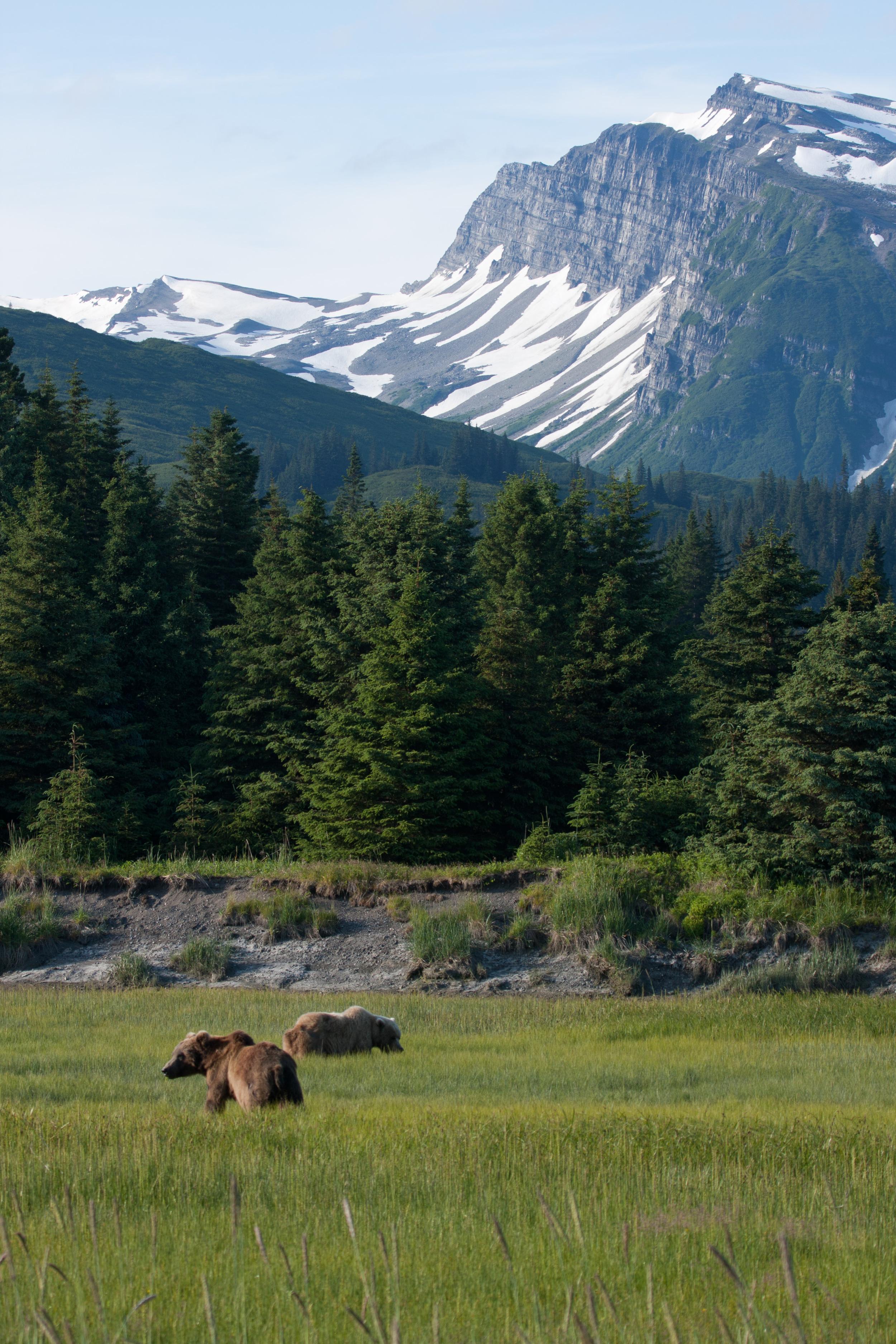 Two Coastal Brown Bears Graze In The Salt Marsh At Silver Salmon Creek. –(PHOTO: NPS/ K. JALONE)