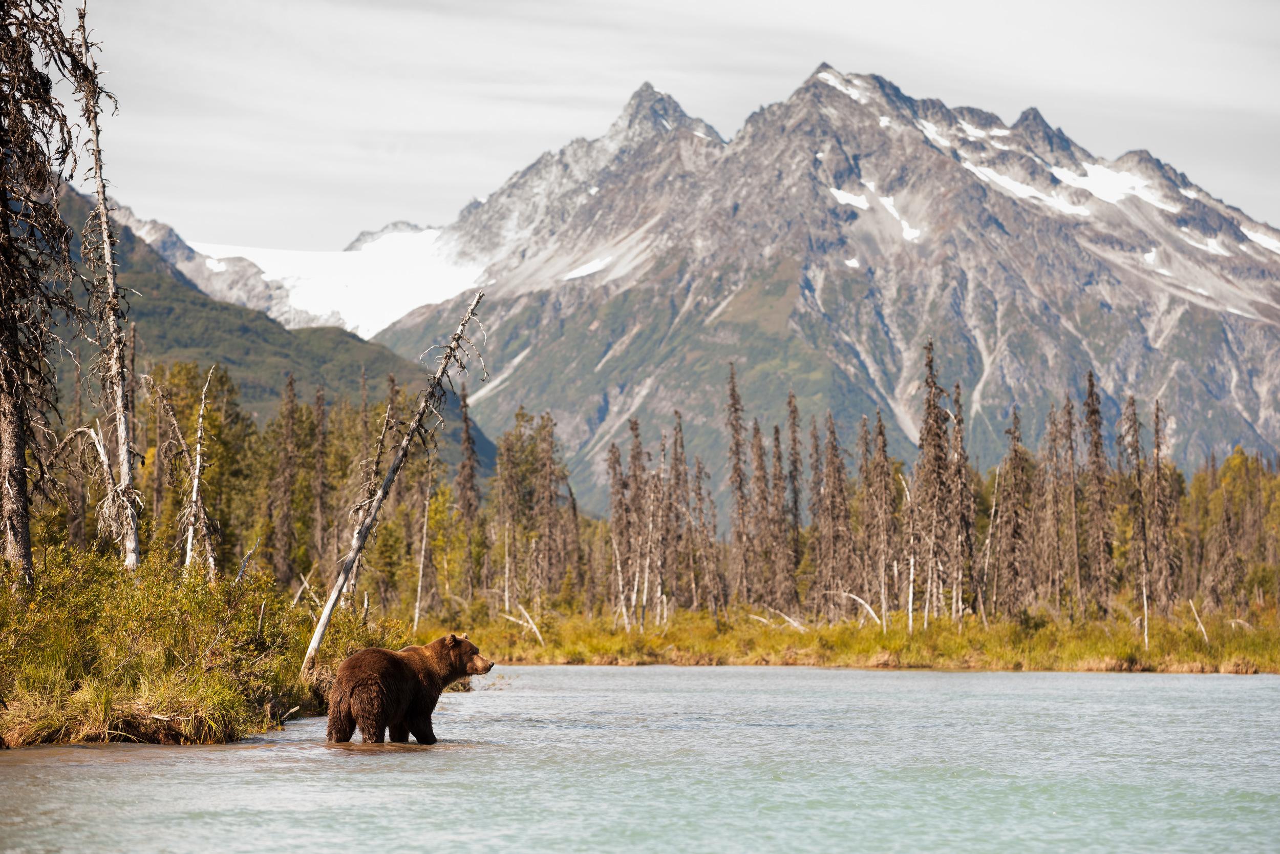 A Coastal Brown Bear Hunting For Fish –(PHOTO: JIMDAVID/SHUTTERSTOCK)