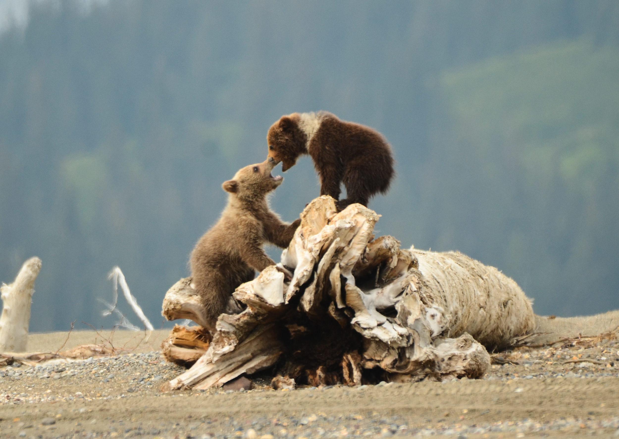 Two Brown Bear Clubs Hard At Play –(PHOTO: DAVIDRASMUS/SHUTTERSTOCK)