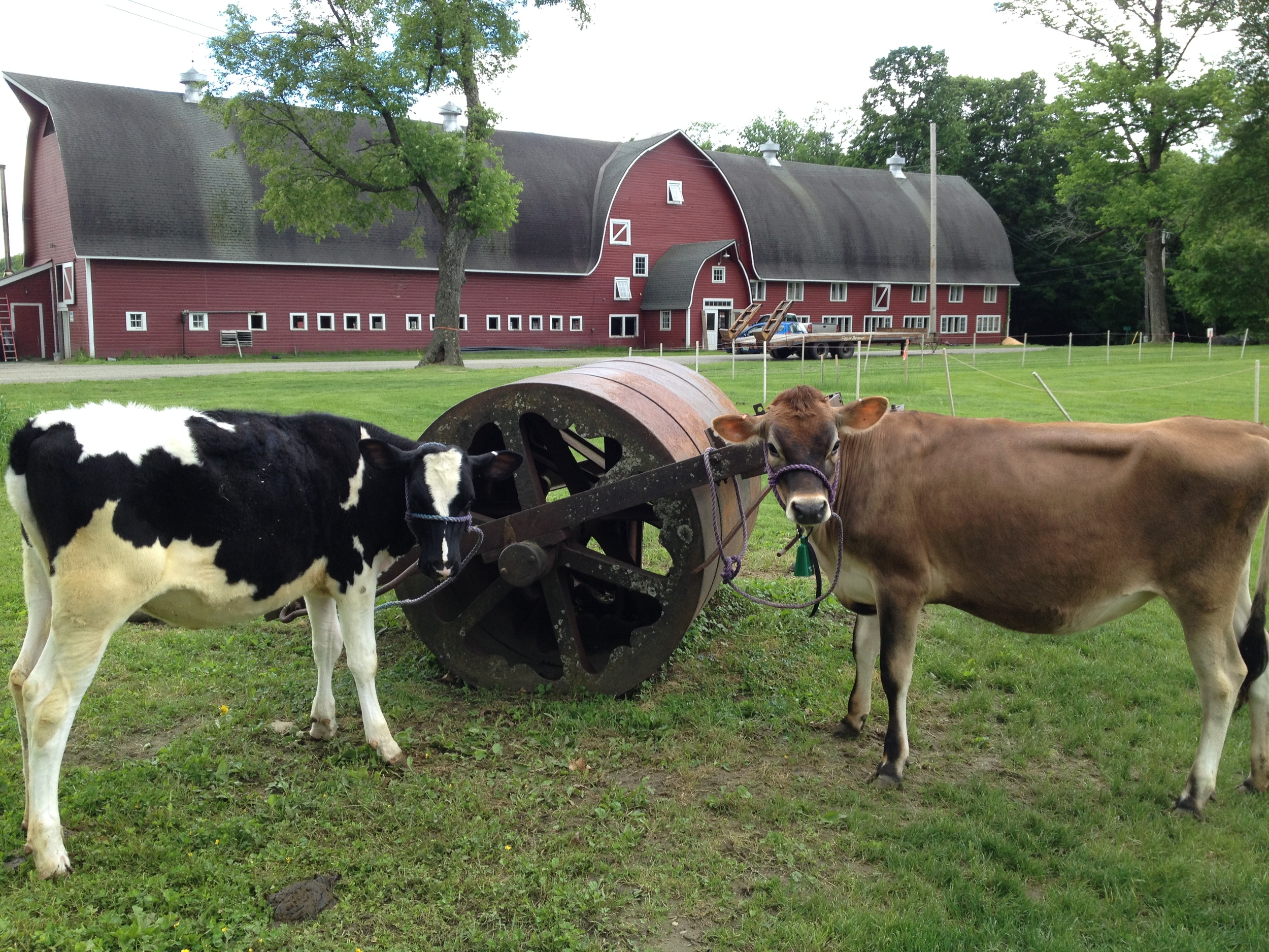 heifers readying to stroll