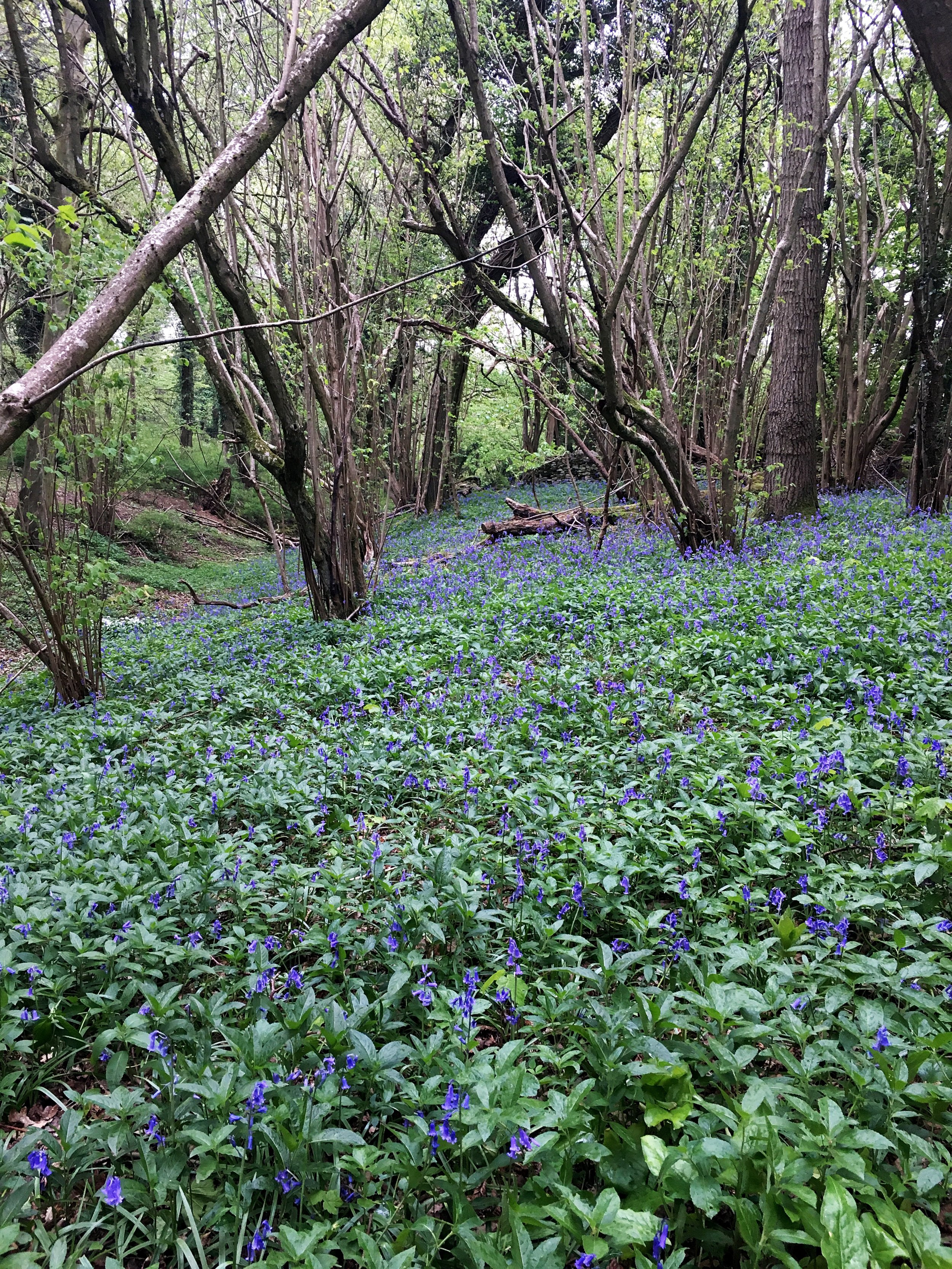 Blue Bells on the hike near Castle Combe