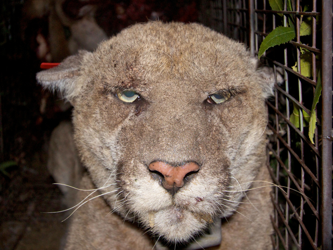 "Griffith Park's ""P-22"" mountain lion was caught and treated for mange as a result of exposure to rat poison. This treatment may have saved his life—many animals die from the effects of mange."