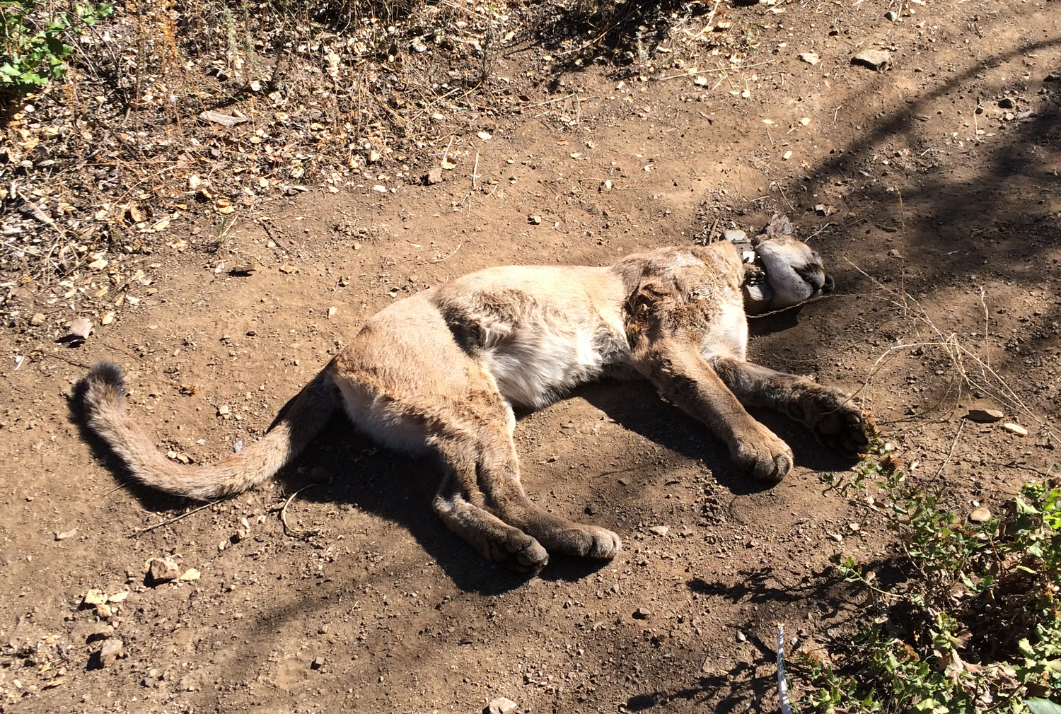 """""""P-34"""" mountain lion died in Malibu from internal bleeding. A necropsy found that she had been exposed to five different poison compounds."""