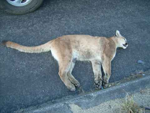 In 2016, over 100 mountain lions were killed by traffic collisions. That year, Californians spent $276 million in property damages and personal injuries due to collisions with over 7,400 animals.