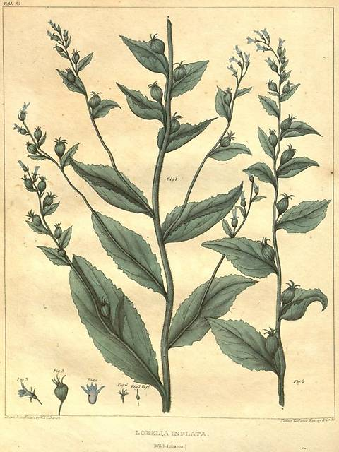 Lobelia inflata.  From  Vegetable Materia Medica of the U.S.  William Barton, 1818. Thomson claimed to have discovered the medicinal value of this species as a child.  It is by far the most important medicinal plant found in his  New Guide to Health,  for an entire system of medicine was built around its use.