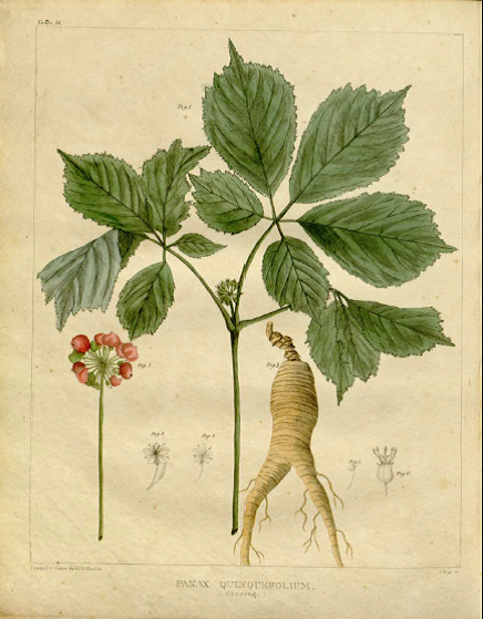 Botanical drawing by William P.C. Barton, M.D as originally printed from engravings in his V egetable Materia Medica of the United States: or, Medical Botany, Vol. 2.1818. Scanned PDF downloaded from the  National Library of Medicine, Digital Collections .