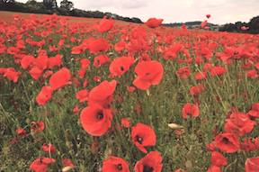 Poppies Flanders Field Poem shared here as well.