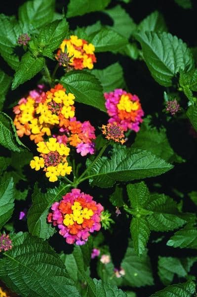 BBB's Lantana photo - she is getting pro with the cameras and is into robotics….birds and flowers!