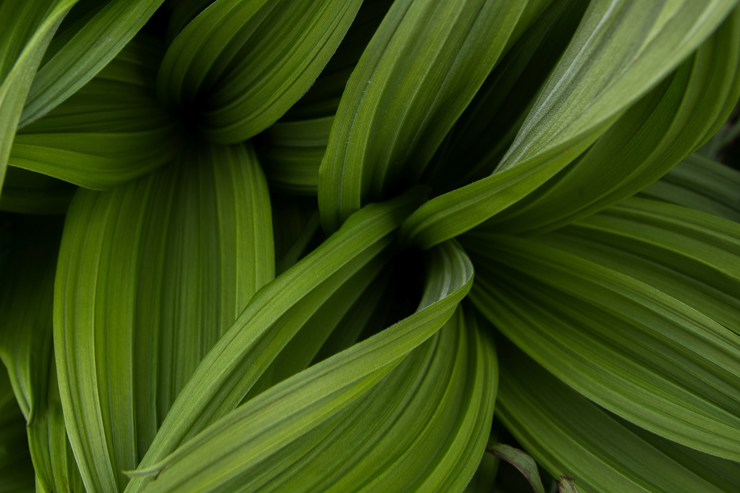 False Hellebore grew in someof the wetter areas near the trail.