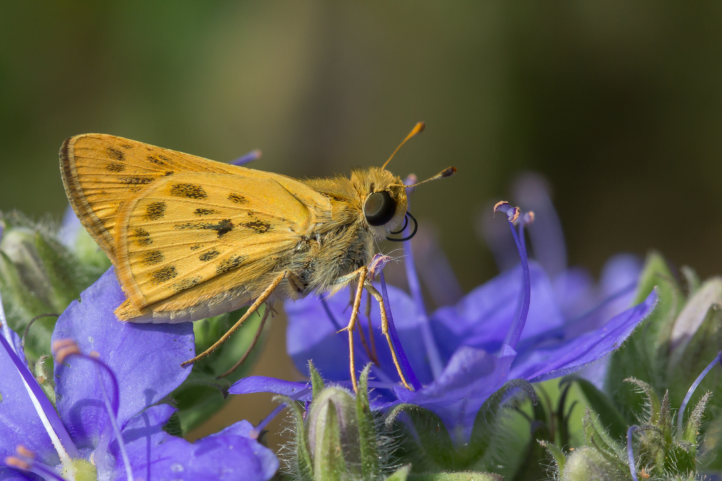 A Fiery Skipper just finishes drinking nectar.