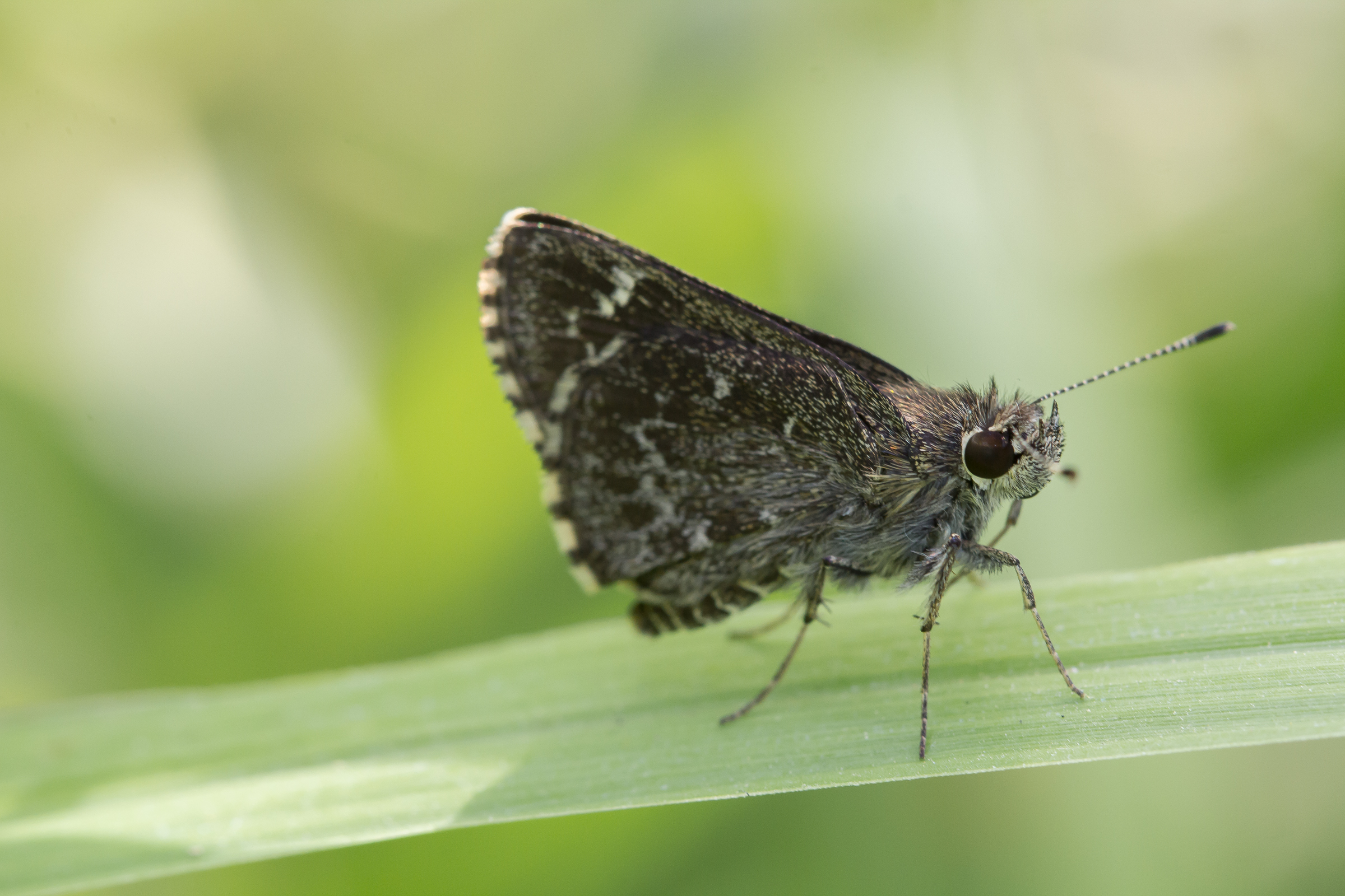 The Bell's Roadside-Skipper has beautiful salt and pepper speckling.