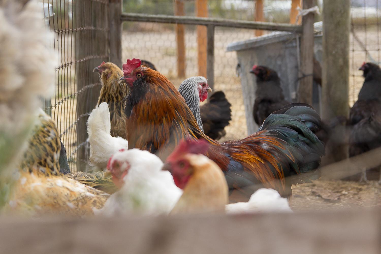chickens_1.jpg