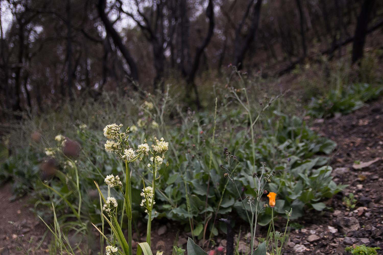 Fremont's Death Camas ( Toxicoscordion fremontii ), and a California Poppy ( Eschscholzia californica ).