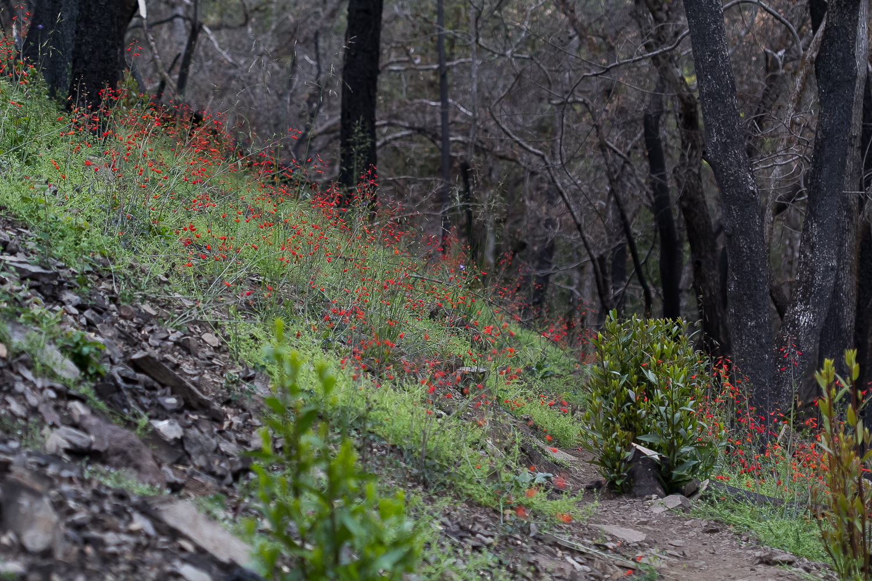 Red Larkspur ( Delphinium nudicaule ).