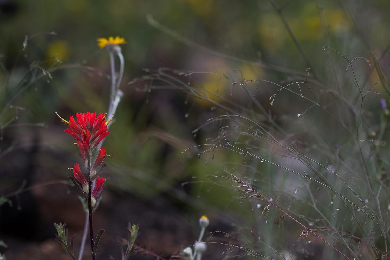 Indian Paintbrush ( Castilleja  sp.).