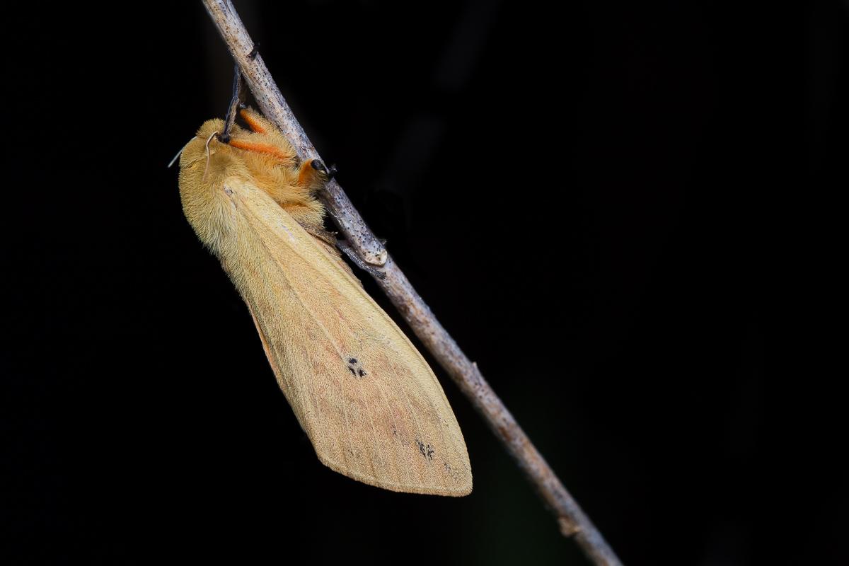 isabella tiger moth-8413.JPG